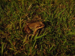 A photo of the frog that came to visit